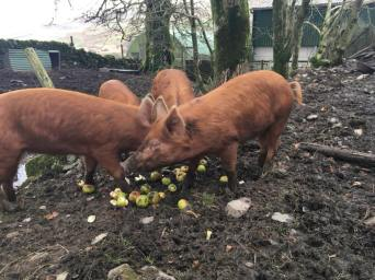 PIGS AND APPLES