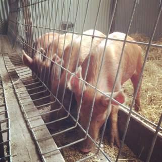 PIGS 2
