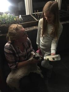 Bottle feed lambs pet lamb Lamlac