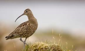 CURLEW.png