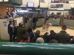 HERDY AUCTION