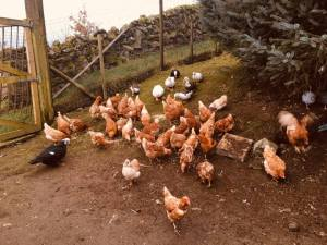 POULTRY MADNESS