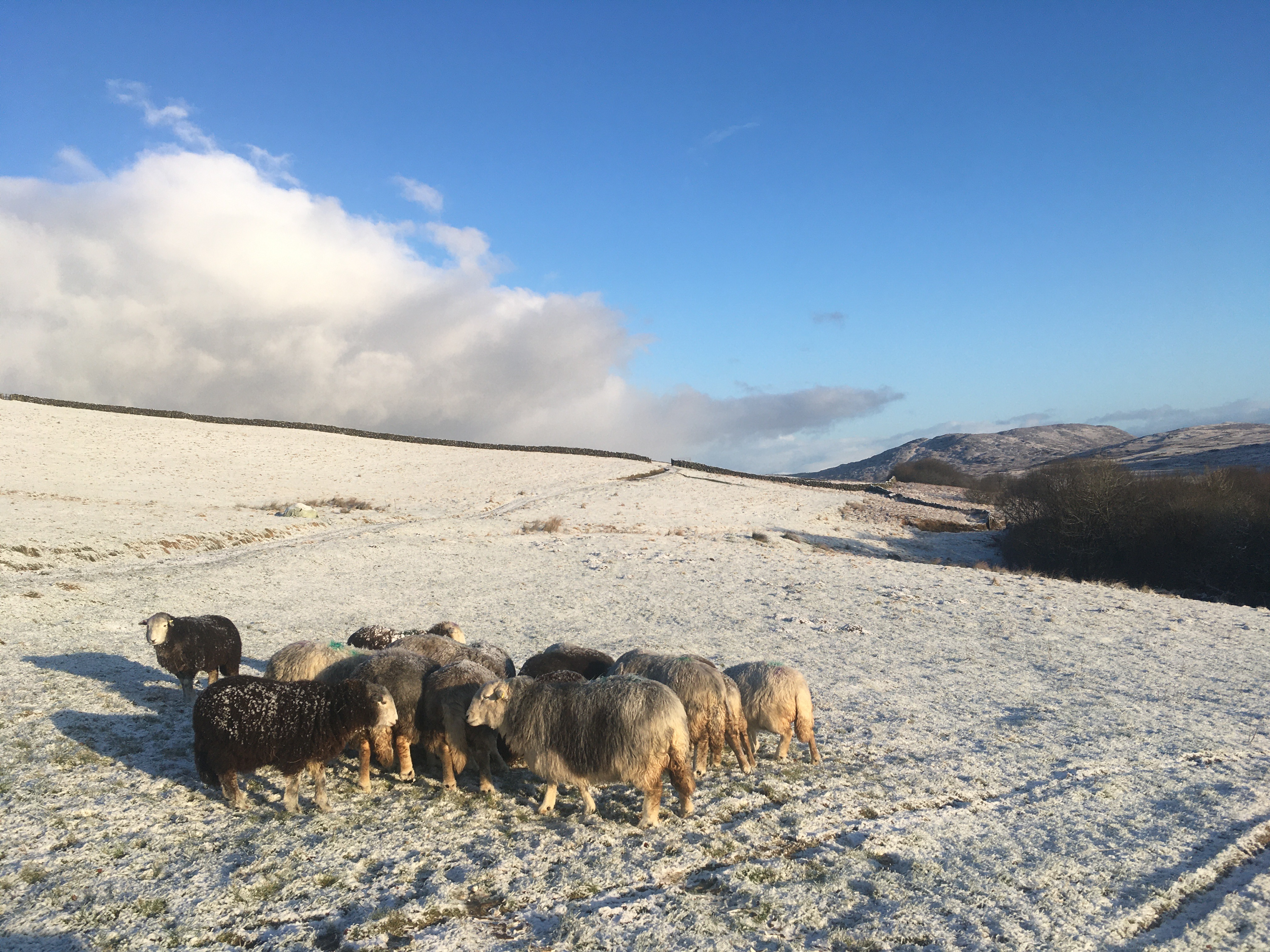SNOW SHEEP 1